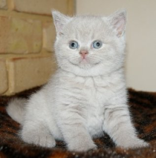 4WHITE GOOD LOOKING BRITISH KITTENS NOW AVAILABLE