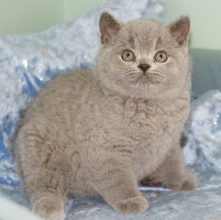صور wLIGHTUP SHORTHAIR KITTENS LOOKING FOR REHOMING 1