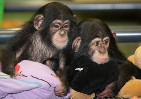 baby chimpanzee for sale