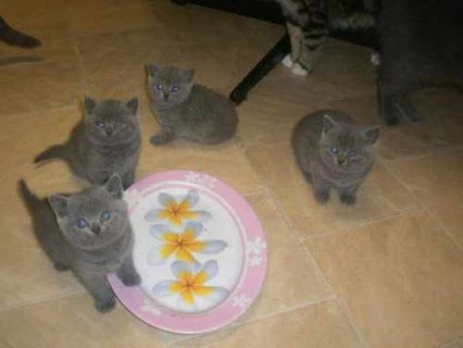 Blue British Shorthair kittens