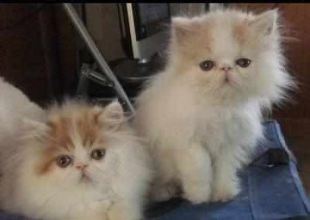 CFA PERSIAN AND HIMALAYANSg
