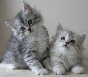 wsiberian kittens for re-homing to any lovely home