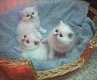 Registered great blood lines persian kittens,Pure bredDDD