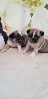 Pugs Puppies Available for Sale