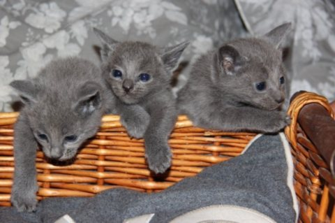 Russian Blue Gccf Registered For Sale