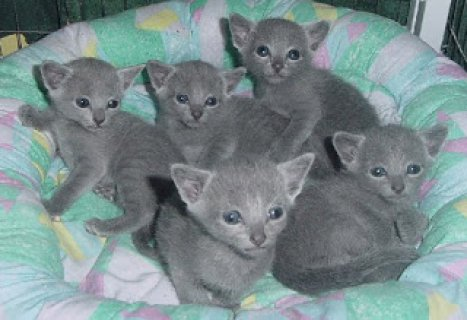 Russian Blue kittensWW