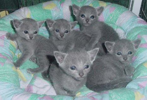 Russian Blue kittensWW
