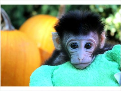 Baby Monkey FOR SALE1