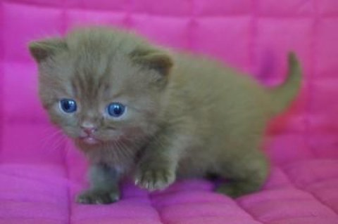 Green-eyed Rare British Kittens For SaleGreen-eyed Rare British