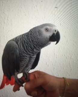 Handreared Baby African Grey Parrots For Sale