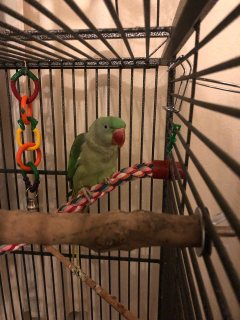 Beautiful Alexandrine Parakeet For Sale
