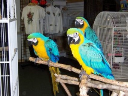 Awesome Pair Blue & Gold Macaw Parrots