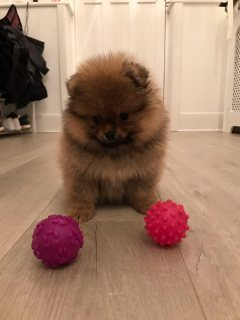 Awesome T-Cup Pomeranian  Puppies