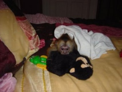 صور Wonderful Capuchin Monkey for Adoption 1