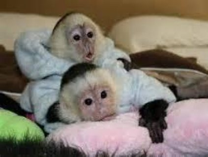 male and female Capuchin Monkeys available