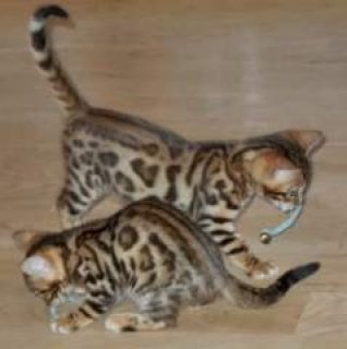 BEAUTIFUL SAVANNAH AND BENGAL kittens home raised with lots of l