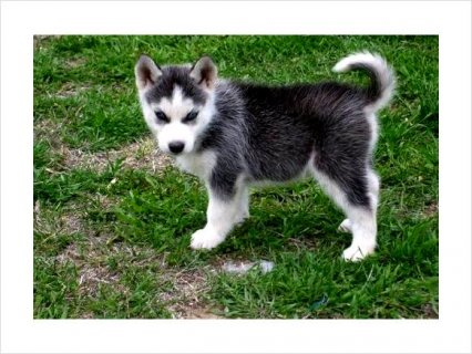 Male and Female Siberian!!!**Husky­ Puppies For Sale!!!!