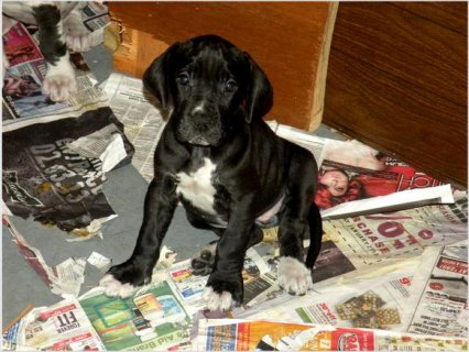 European great dane puppy