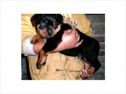صور Stunning rottweiller puppies for exceptional p'ple 1
