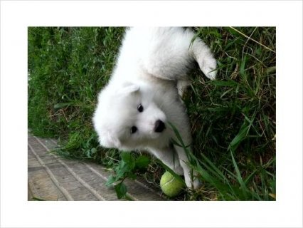 Festival white samoyed puppies ready for you