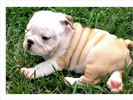 Gorgeous English Bulldog Puppies Ready