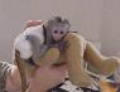 Cute lovely male and female Capuchin monkeys for adoption