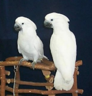 2 year old female umbrella cockatoo