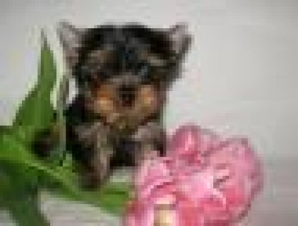 We have Gorgeous Yorkie Puppies for adoption
