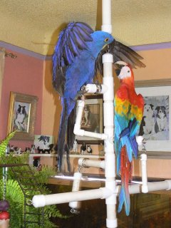 صور Blue and Gold macaw parrots for free adoption 1