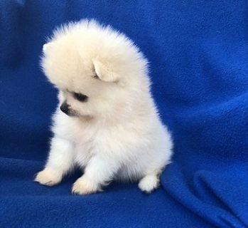 Super Adorable Pomeranian Puppies