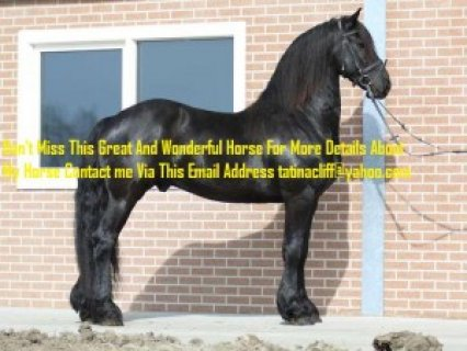 Outstanding Friesian Gelding Horse for Sale