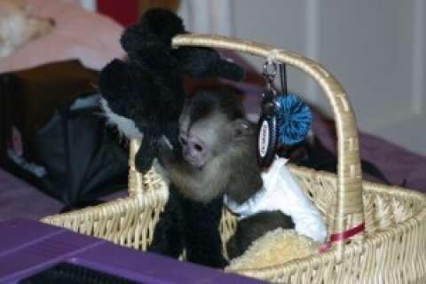 Home-raised Capuchin Monkey