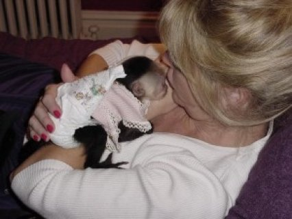 Amazing Capuchin Monkey Available