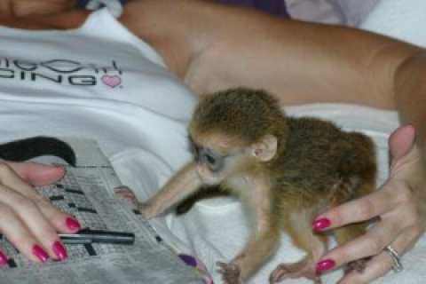 Capuchin Monkeys Available