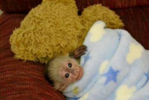 صور Female Marmoset Monkey for Adoption 1