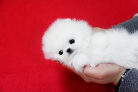 صور Lovely Male and Female Tiny Teacup Pomeranian Puppies For Adopti 1