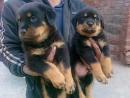 Lovely Rottweiler Puppies for Sale