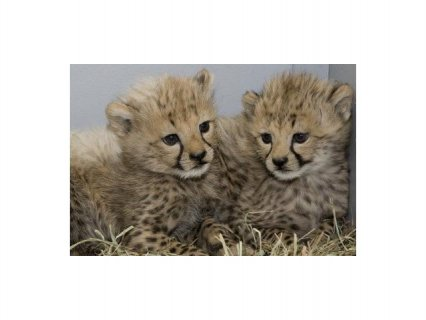 Cheetah cubs , African Serval & F1 Savannah kittens for sale