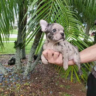 Cute Merle French bulldog puppies available