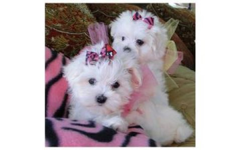 صور Cute Maltese Pups 1
