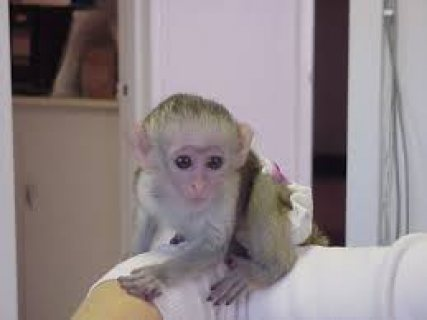 Excellent Capuchin monkeys for sale