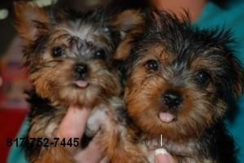 Tiny To-size Yorkie Puppies