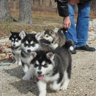 Top Quality Alaska Malamute Puppies
