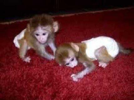 إصبع كابوشين الذكور والإناث القرد ،