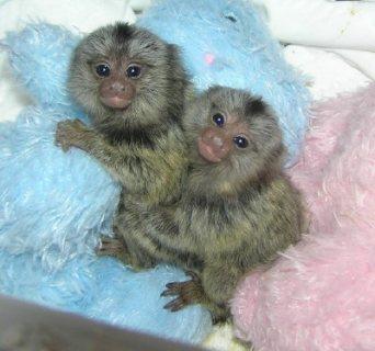 إصبع القرد من الذكور والإناث ،