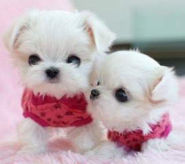 Tiny Maltese Pup