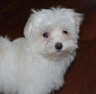 Maltese puppies cute teacup female and male for adoption