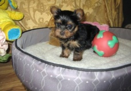 female blue, black, and gold Yorkshire Terrier puppy.