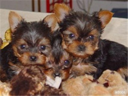 صور adorable yorkie puppies for free adoption 1