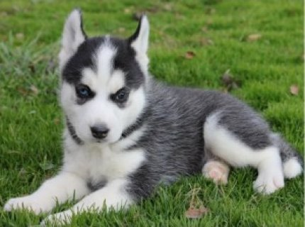 صور Free Top quality Siberian Husky puppies ready to go 1